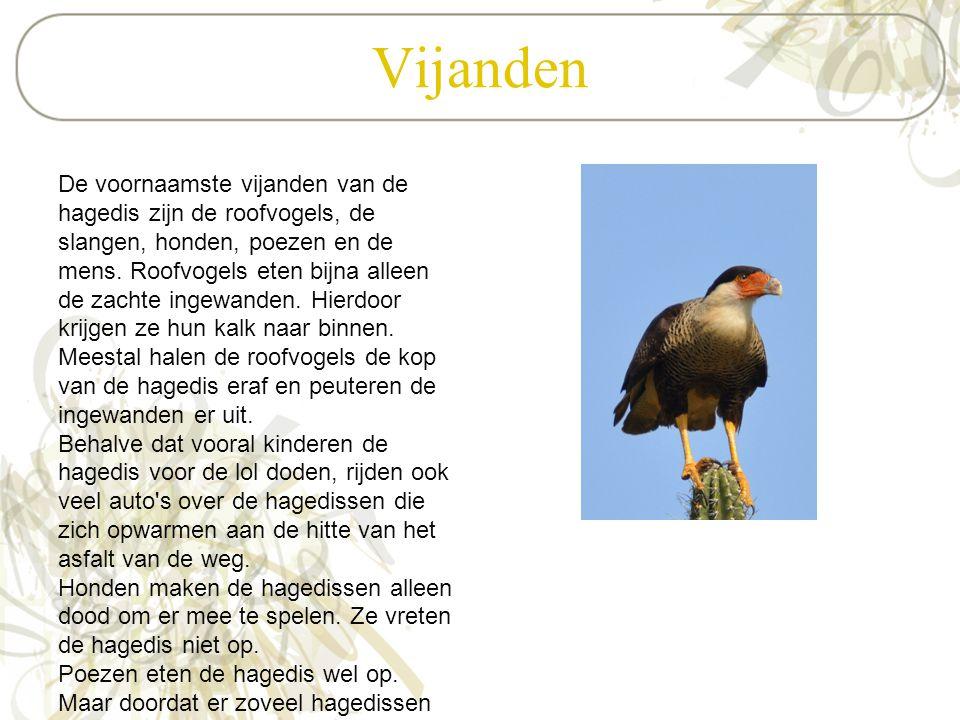 Vijanden De voornaamste vijanden van de hagedis zijn de roofvogels, de slangen, honden, poezen en de mens. Roofvogels eten bijna alleen de zachte inge