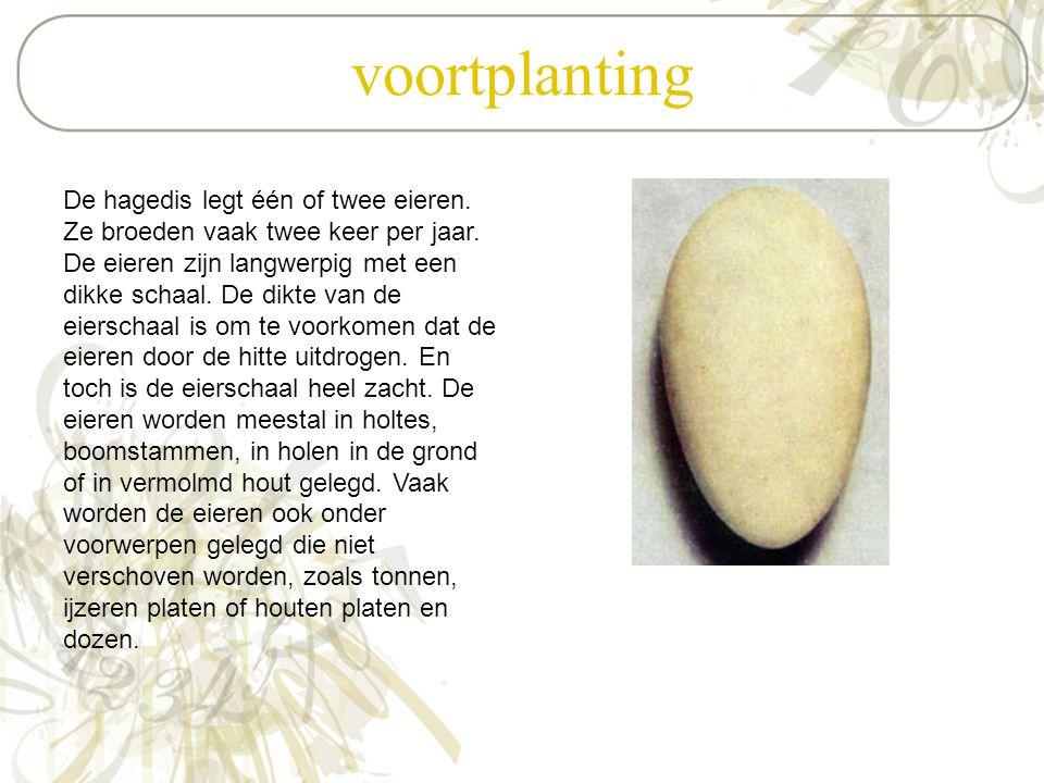 voortplanting De hagedis legt één of twee eieren. Ze broeden vaak twee keer per jaar. De eieren zijn langwerpig met een dikke schaal. De dikte van de