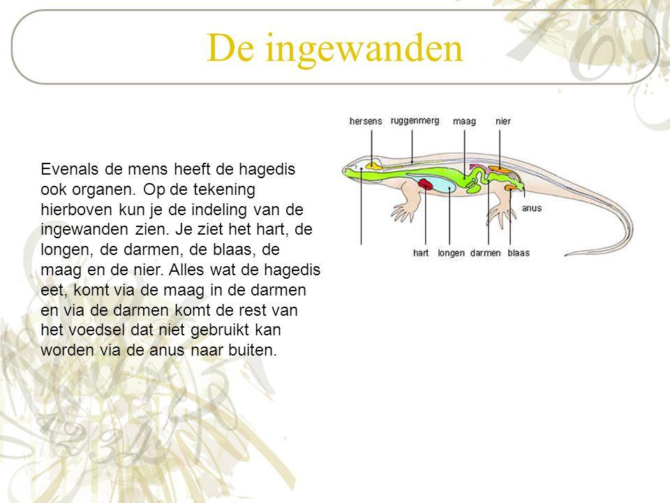 De ingewanden Evenals de mens heeft de hagedis ook organen. Op de tekening hierboven kun je de indeling van de ingewanden zien. Je ziet het hart, de l