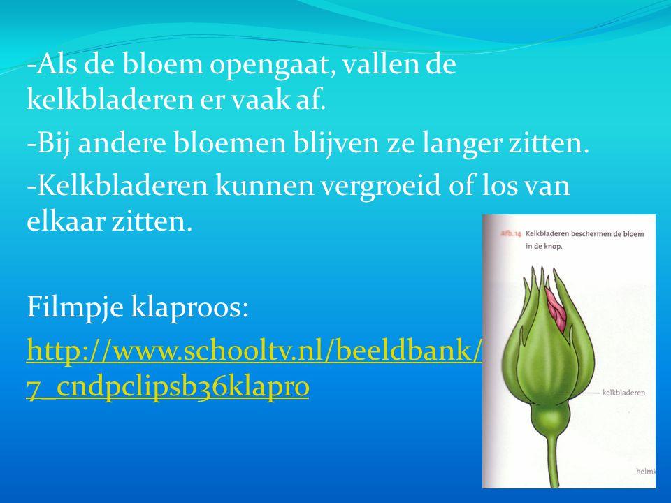 -Als de bloem opengaat, vallen de kelkbladeren er vaak af.