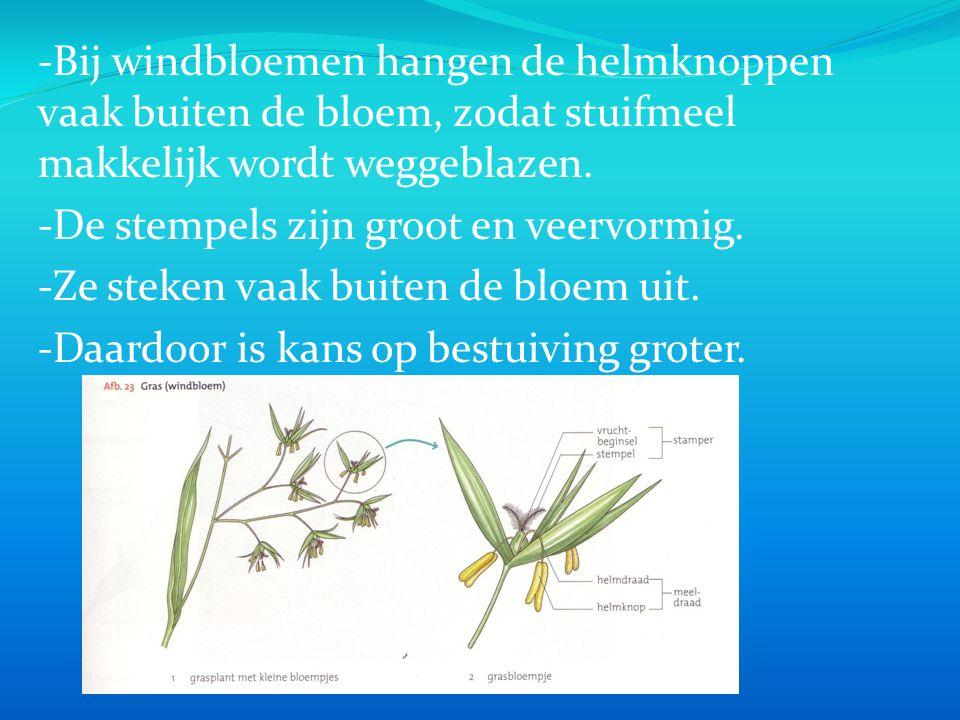 -Bij windbloemen hangen de helmknoppen vaak buiten de bloem, zodat stuifmeel makkelijk wordt weggeblazen. -De stempels zijn groot en veervormig. -Ze s