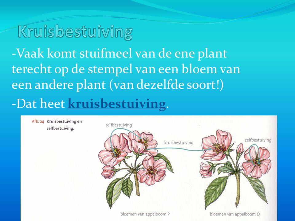 -Vaak komt stuifmeel van de ene plant terecht op de stempel van een bloem van een andere plant (van dezelfde soort!) -Dat heet kruisbestuiving.