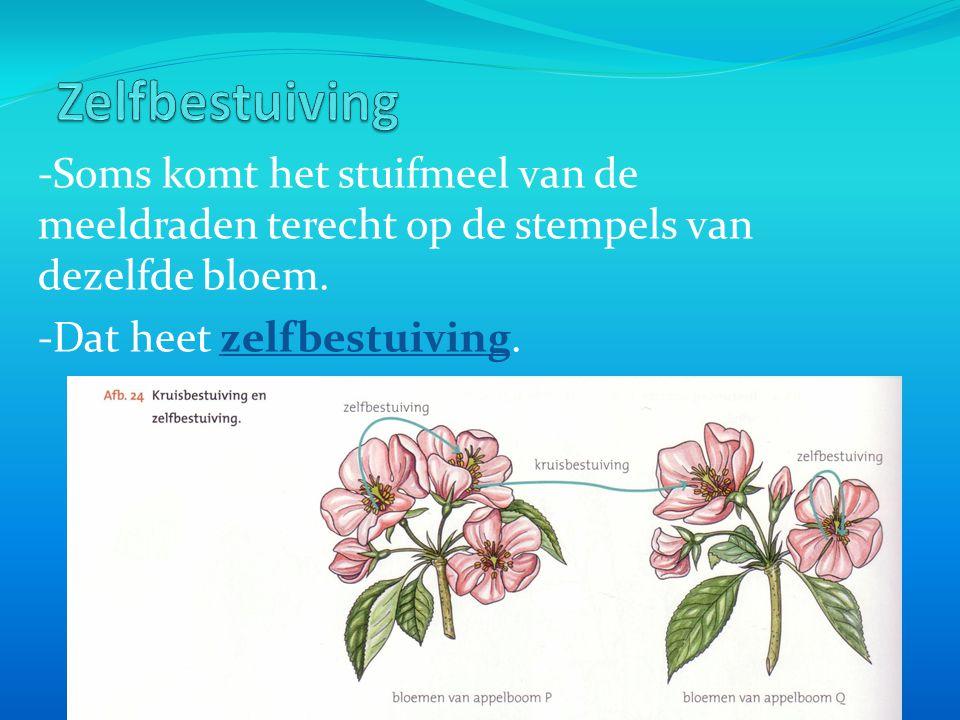 -Soms komt het stuifmeel van de meeldraden terecht op de stempels van dezelfde bloem. -Dat heet zelfbestuiving.