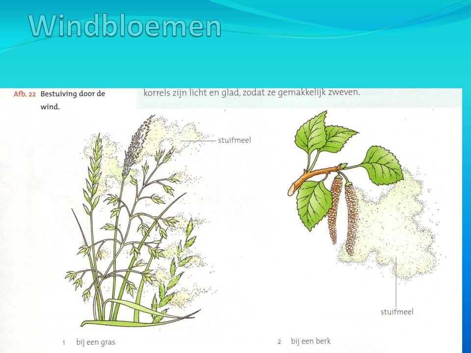 -Bij windbloemen hangen de helmknoppen vaak buiten de bloem, zodat stuifmeel makkelijk wordt weggeblazen.