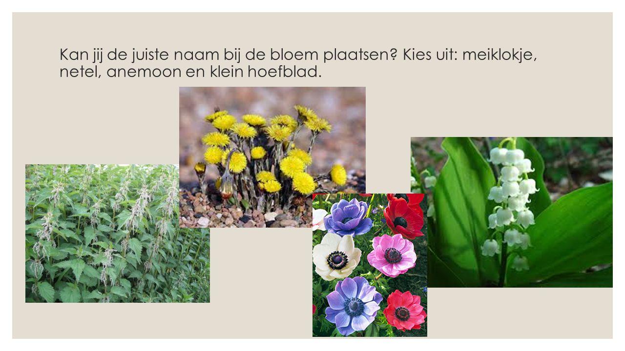 Kan jij de juiste naam bij de bloem plaatsen? Kies uit: meiklokje, netel, anemoon en klein hoefblad.