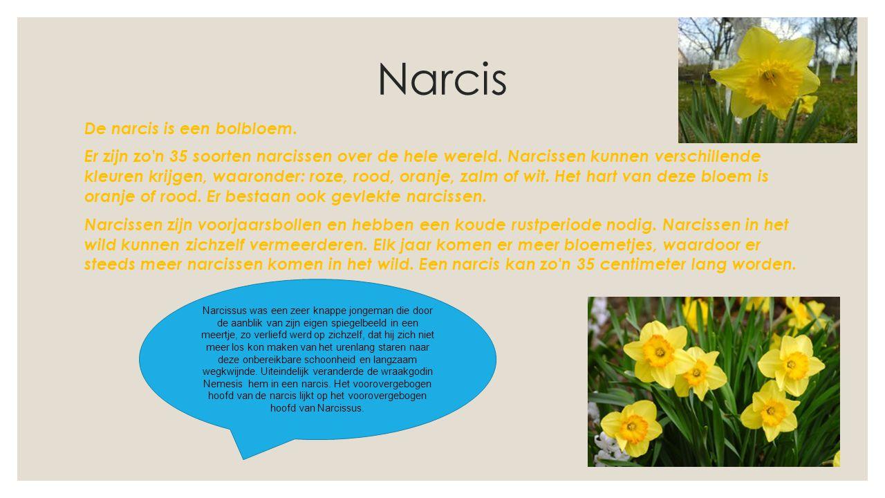 Narcis De narcis is een bolbloem. Er zijn zo'n 35 soorten narcissen over de hele wereld. Narcissen kunnen verschillende kleuren krijgen, waaronder: ro