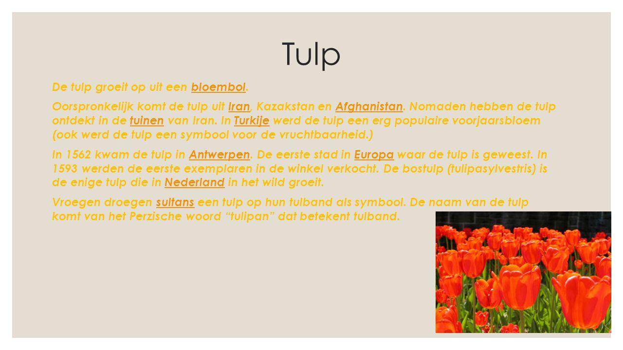 Tulp De tulp groeit op uit een bloembol.bloembol Oorspronkelijk komt de tulp uit Iran, Kazakstan en Afghanistan. Nomaden hebben de tulp ontdekt in de