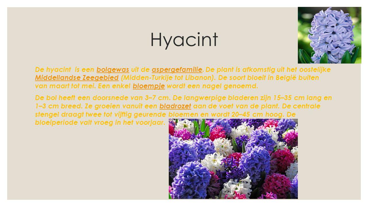 Hyacint De hyacint is een bolgewas uit de aspergefamilie. De plant is afkomstig uit het oostelijke Middellandse Zeegebied (Midden-Turkije tot Libanon)