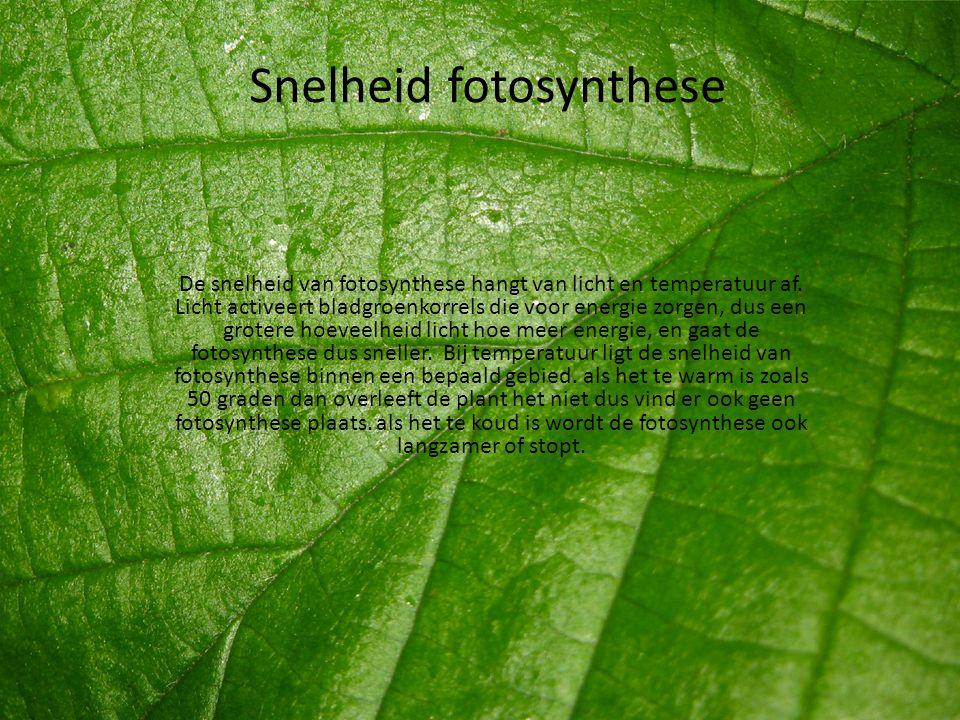 Snelheid fotosynthese De snelheid van fotosynthese hangt van licht en temperatuur af. Licht activeert bladgroenkorrels die voor energie zorgen, dus ee