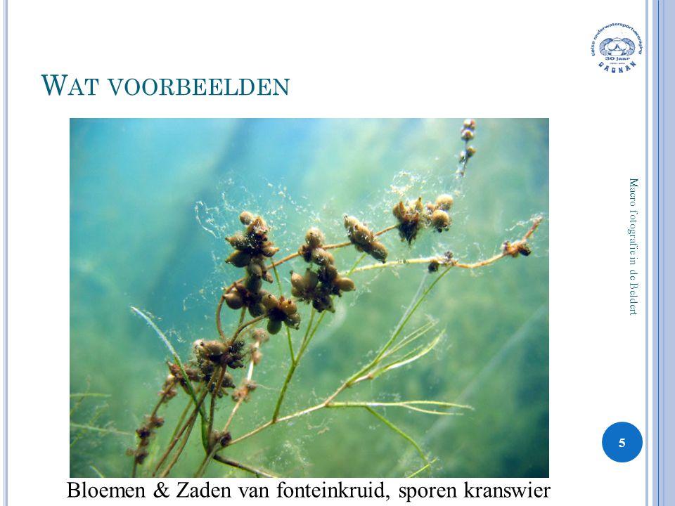 W AT VOORBEELDEN 5 Macro fotografie in de Beldert Bloemen & Zaden van fonteinkruid, sporen kranswier