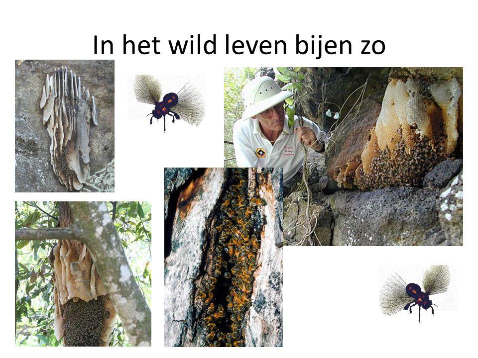 In het wild leven bijen zo