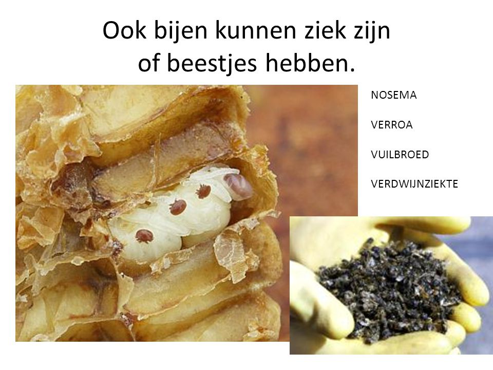 Ook bijen kunnen ziek zijn of beestjes hebben. NOSEMA VERROA VUILBROED VERDWIJNZIEKTE