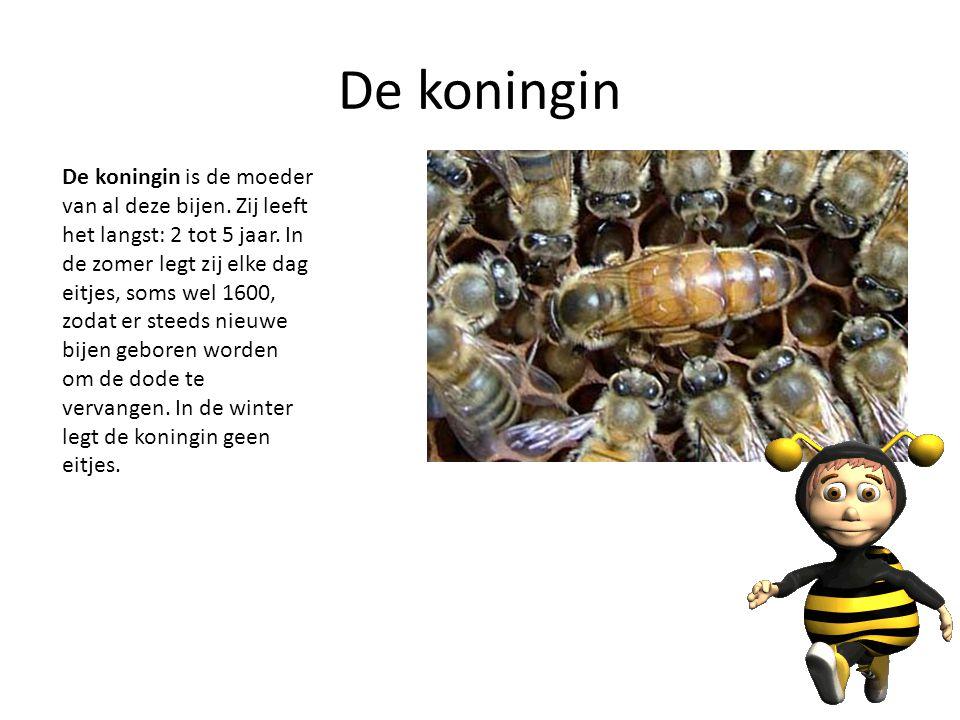 De koningin De koningin is de moeder van al deze bijen. Zij leeft het langst: 2 tot 5 jaar. In de zomer legt zij elke dag eitjes, soms wel 1600, zodat