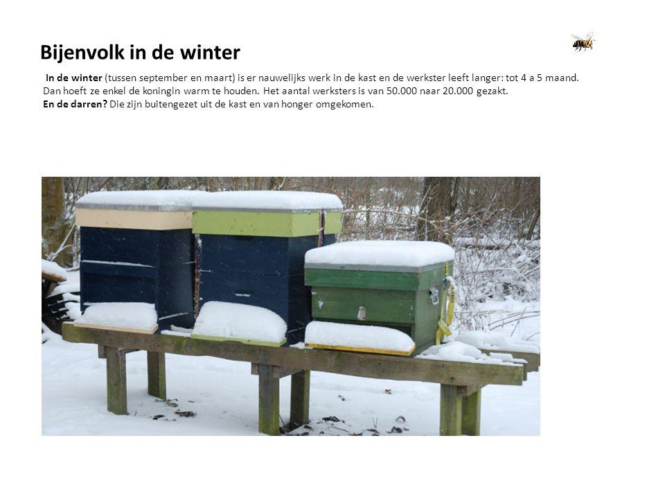 Bijenvolk in de winter In de winter (tussen september en maart) is er nauwelijks werk in de kast en de werkster leeft langer: tot 4 a 5 maand.