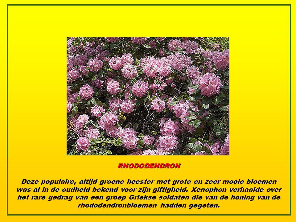 ENGELTROMPET Die plant met de mooie naam heeft iets duivels. De giftige stoffen die ze bevat kunnen fataal zijn voor mensen en voor sommige dieren. Be