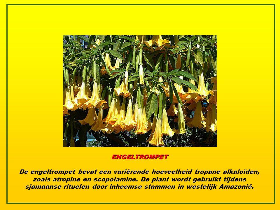 RHODODENDRON Deze populaire, altijd groene heester met grote en zeer mooie bloemen was al in de oudheid bekend voor zijn giftigheid. Xenophon verhaald