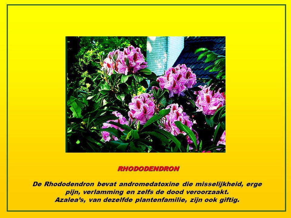 ENGELTROMPET De engeltrompet bevat een variërende hoeveelheid tropane alkaloïden, zoals atropine en scopolamine. De plant wordt gebruikt tijdens sjama