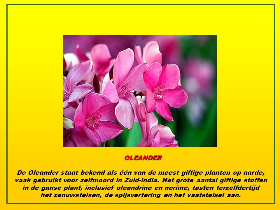 RHODODENDRON De Rhododendron bevat andromedatoxine die misselijkheid, erge pijn, verlamming en zelfs de dood veroorzaakt. Azalea's, van dezelfde plant