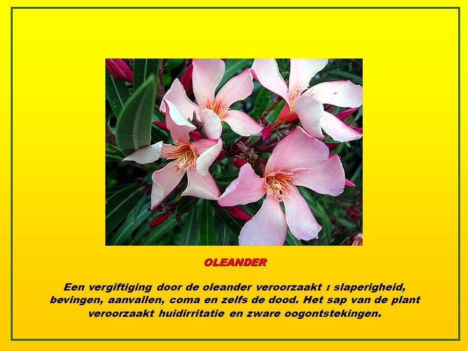 OLEANDER De Oleander staat bekend als één van de meest giftige planten op aarde, vaak gebruikt voor zelfmoord in Zuid-india. Het grote aantal giftige