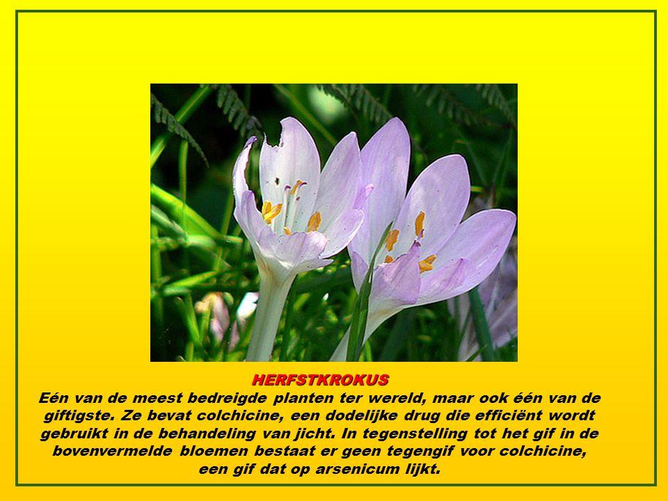 OLEANDER Een vergiftiging door de oleander veroorzaakt : slaperigheid, bevingen, aanvallen, coma en zelfs de dood. Het sap van de plant veroorzaakt hu