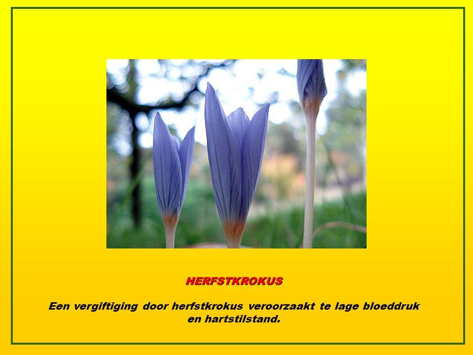 HERFSTKROKUS Eén van de meest bedreigde planten ter wereld, maar ook één van de giftigste. Ze bevat colchicine, een dodelijke drug die efficiënt wordt