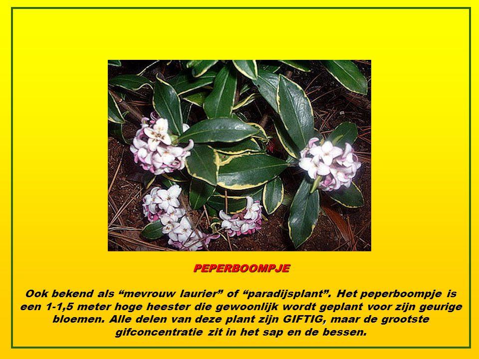 PEPERBOOMPJE, Ook bekend als mevrouw laurier of paradijsplant .