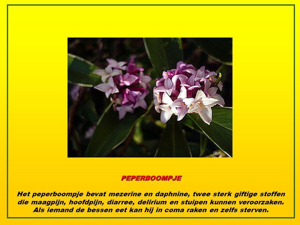 PEPERBOOMPJE Het peperboompje bevat mezerine en daphnine, twee sterk giftige stoffen die maagpijn, hoofdpijn, diarree, delirium en stuipen kunnen veroorzaken.