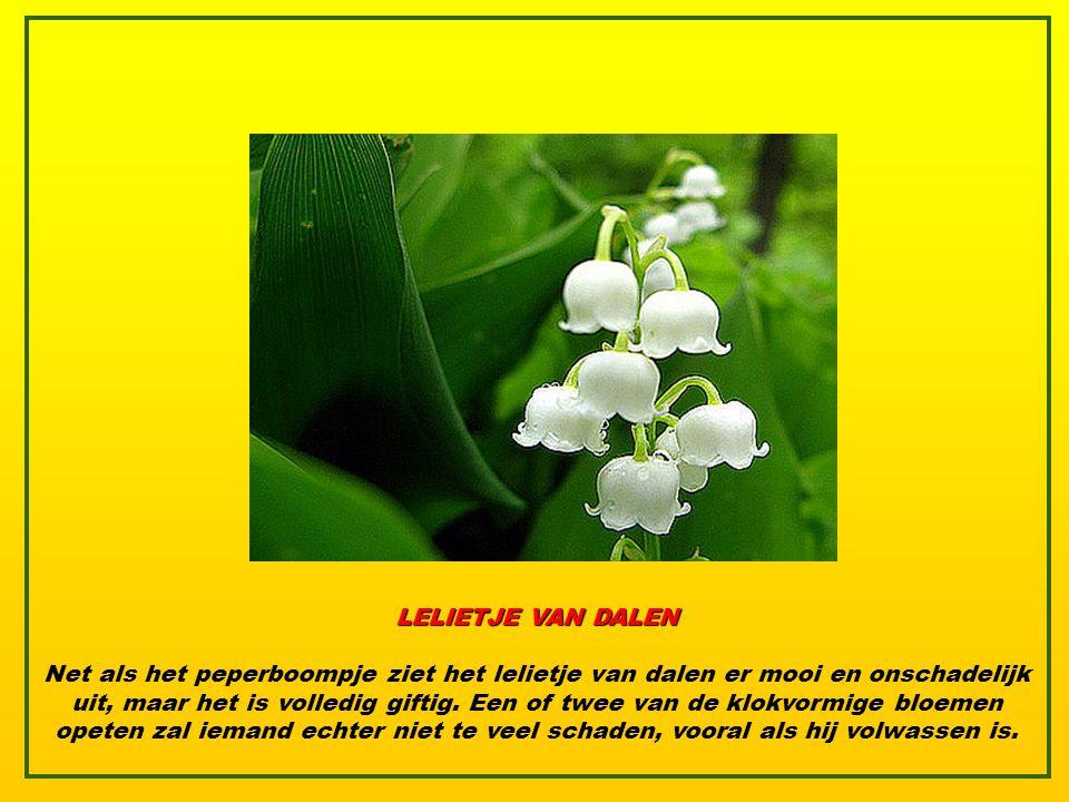 HERFSTKROKUS Eén van de meest bedreigde planten ter wereld, maar ook één van de giftigste.