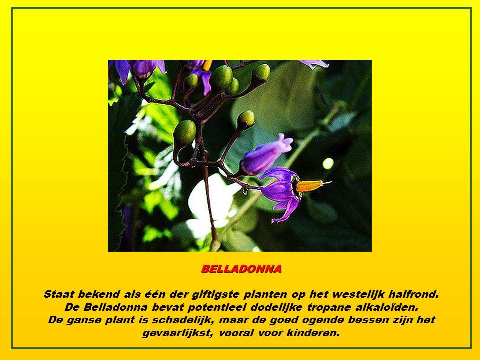 BELLADONNA Staat bekend als één der giftigste planten op het westelijk halfrond.