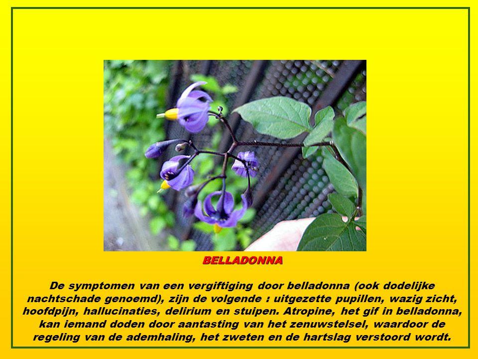 BELLADONNA De symptomen van een vergiftiging door belladonna (ook dodelijke nachtschade genoemd), zijn de volgende : uitgezette pupillen, wazig zicht, hoofdpijn, hallucinaties, delirium en stuipen.