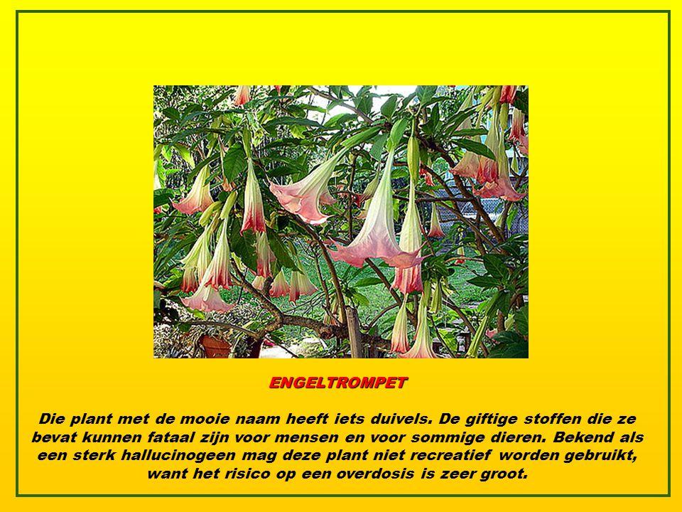 ENGELTROMPET Die plant met de mooie naam heeft iets duivels.