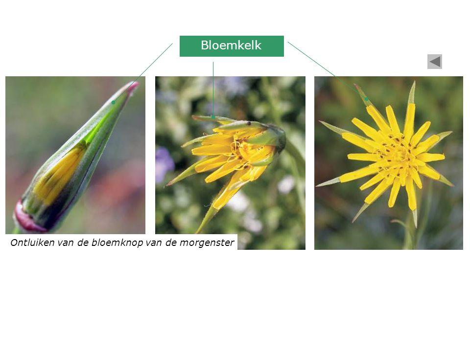 Ontluiken van de bloemknop van de morgenster Bloemkelk