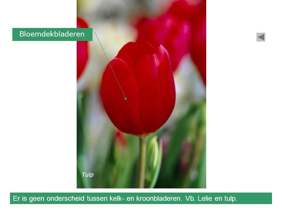 Bloemdekbladeren Er is geen onderscheid tussen kelk- en kroonbladeren. Vb. Lelie en tulp. Tulp