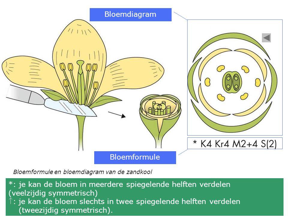 *: je kan de bloem in meerdere spiegelende helften verdelen (veelzijdig symmetrisch) : je kan de bloem slechts in twee spiegelende helften verdelen (tweezijdig symmetrisch).