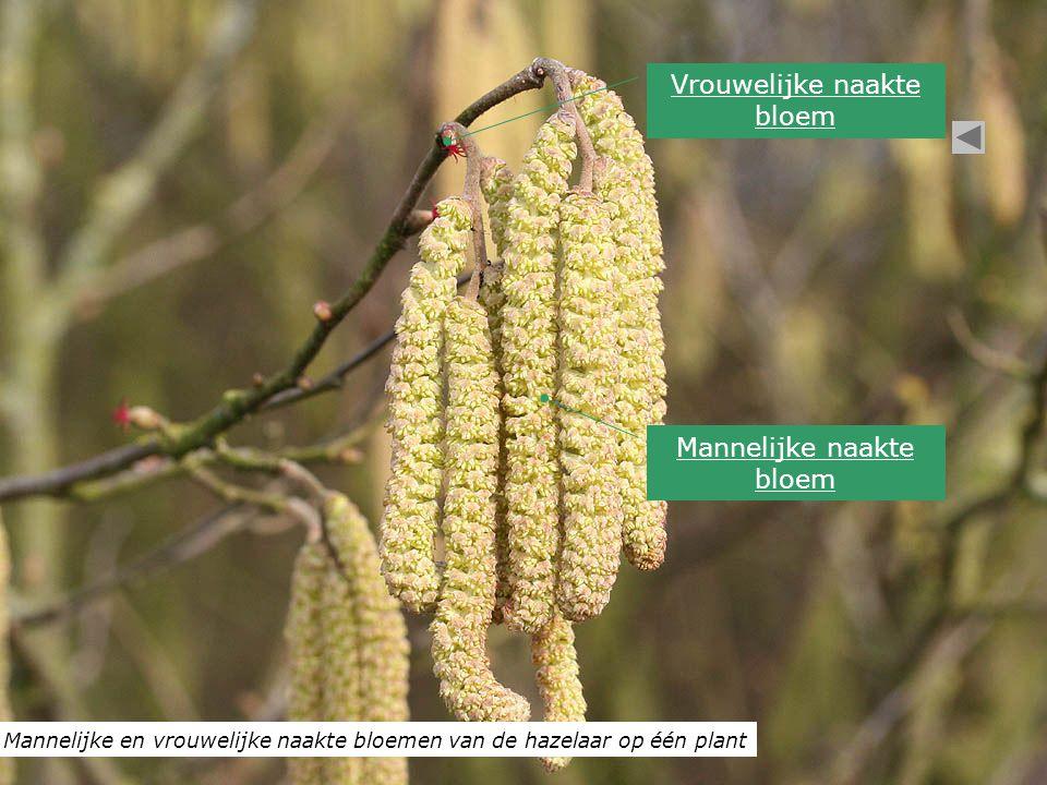 Mannelijke en vrouwelijke naakte bloemen van de hazelaar op één plant Vrouwelijke naakte bloem Mannelijke naakte bloem