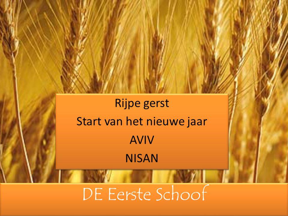 DE Eerste Schoof Rijpe gerst Start van het nieuwe jaar AVIV NISAN Rijpe gerst Start van het nieuwe jaar AVIV NISAN
