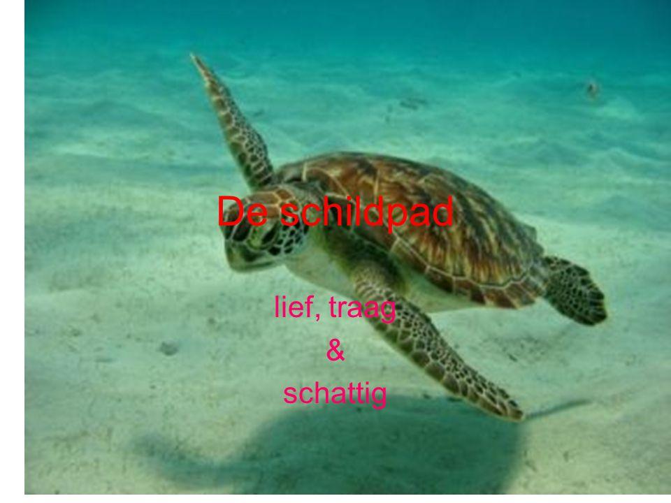 De schildpad lief, traag & schattig