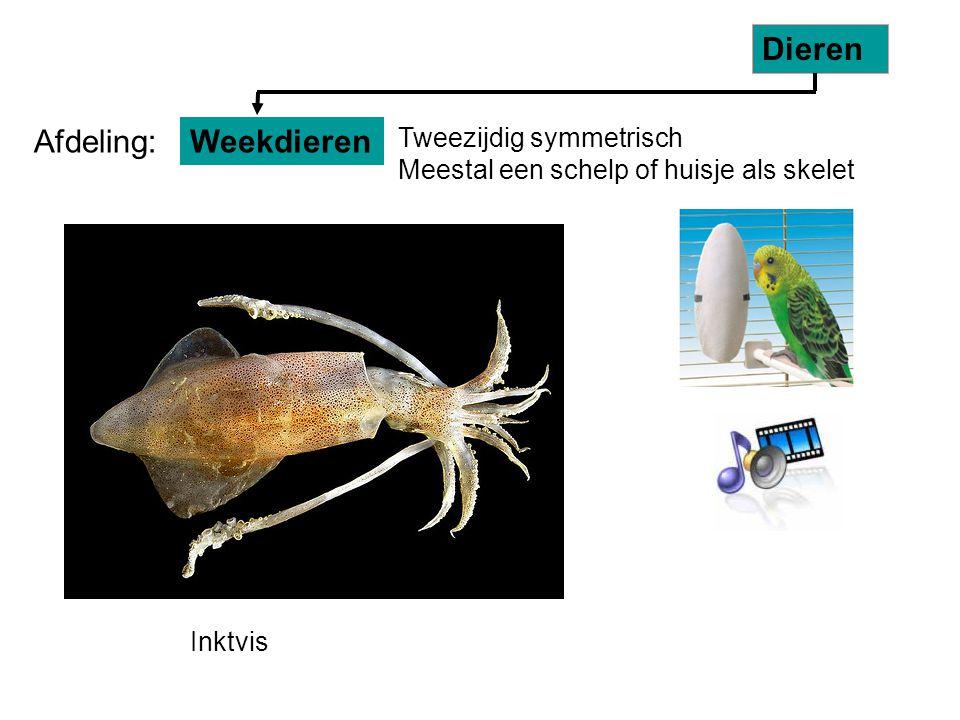 Tweezijdig symmetrisch Meestal een schelp of huisje als skelet Inktvis Weekdieren Dieren Afdeling: