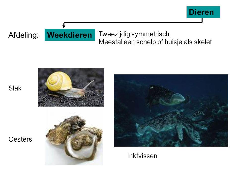 Slak Oesters Tweezijdig symmetrisch Meestal een schelp of huisje als skelet Weekdieren Dieren Afdeling: Inktvissen