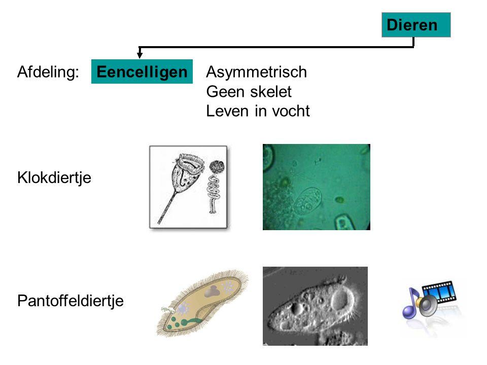 EencelligenAsymmetrisch Geen skelet Leven in vocht Dieren Klokdiertje Pantoffeldiertje Afdeling: