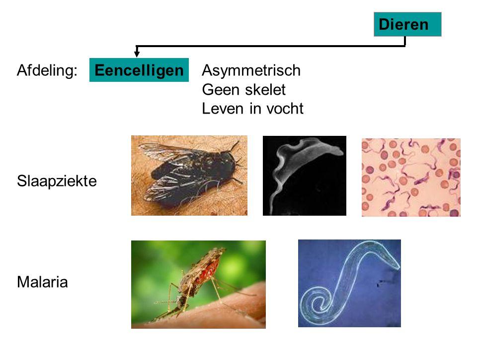 Slaapziekte Malaria Eencelligen Dieren Afdeling:Asymmetrisch Geen skelet Leven in vocht