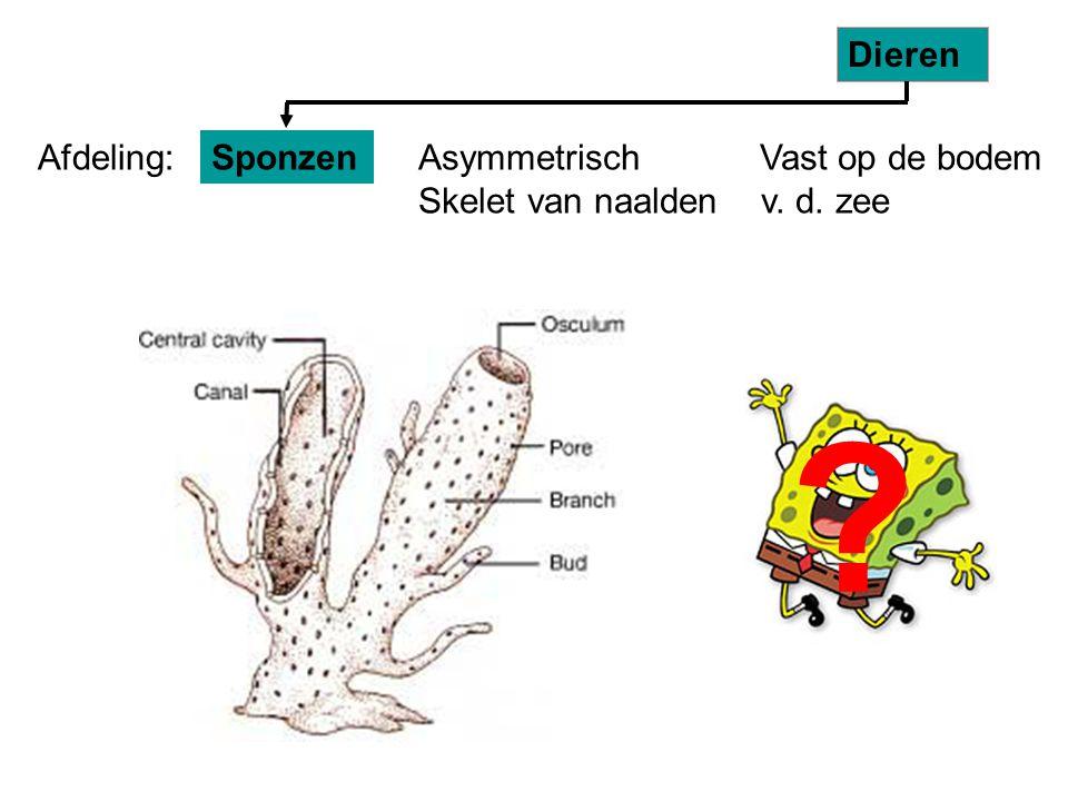 Asymmetrisch Vast op de bodem Skelet van naalden v. d. zee Sponzen Dieren Afdeling: ?
