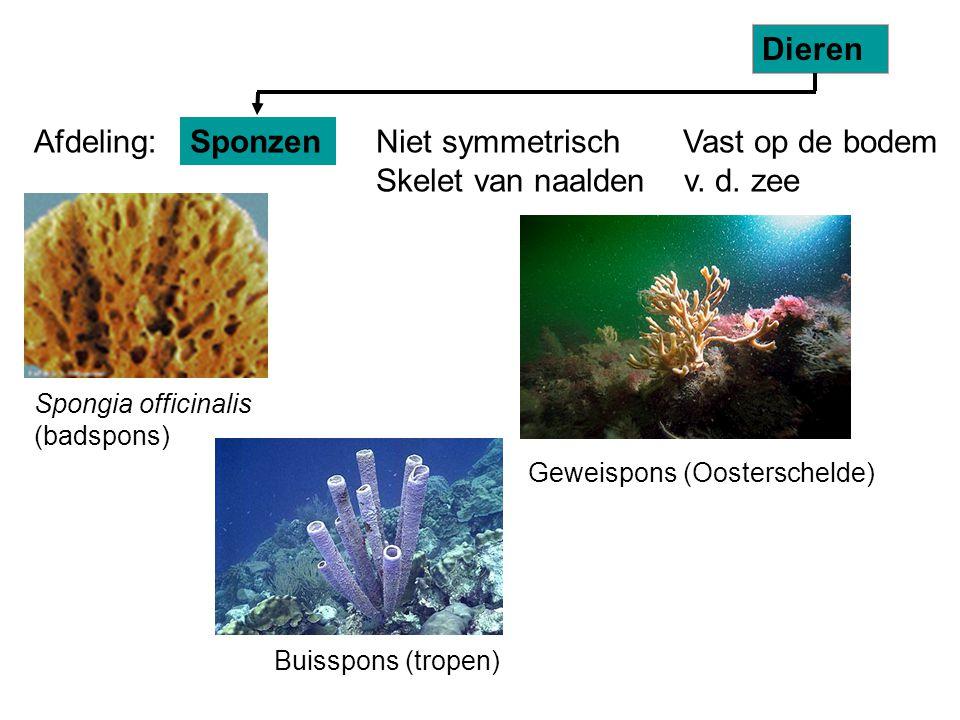 Buisspons (tropen) Spongia officinalis (badspons) Geweispons (Oosterschelde) Niet symmetrisch Vast op de bodem Skelet van naalden v. d. zee Sponzen Di