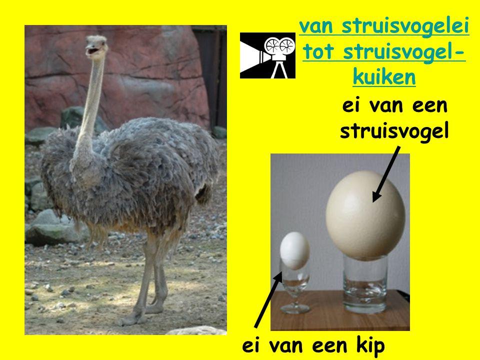 ei van een struisvogel ei van een kip van struisvogelei tot struisvogel- kuiken