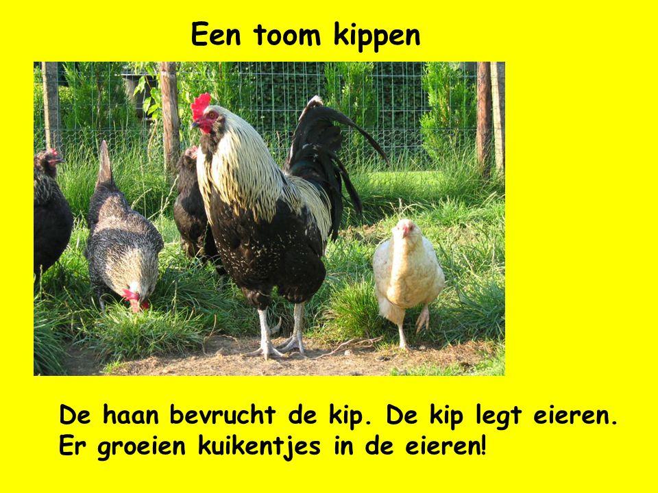 Een toom kippen De haan bevrucht de kip. De kip legt eieren. Er groeien kuikentjes in de eieren!