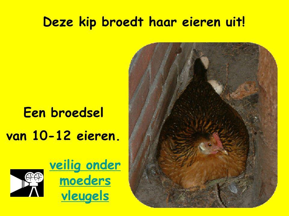 Deze kip broedt haar eieren uit! Een broedsel van 10-12 eieren. veilig onder moeders vleugels
