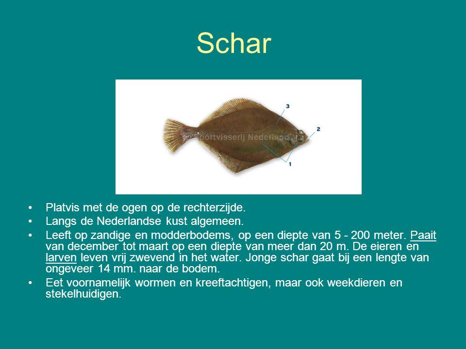 Schar Platvis met de ogen op de rechterzijde. Langs de Nederlandse kust algemeen. Leeft op zandige en modderbodems, op een diepte van 5 - 200 meter. P