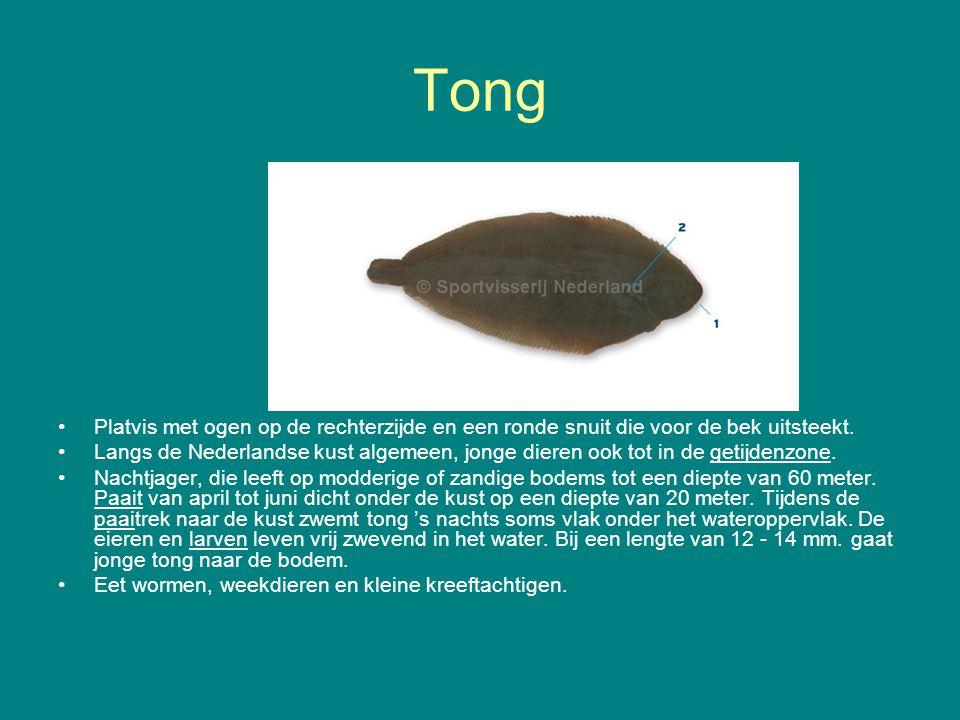 Tong Platvis met ogen op de rechterzijde en een ronde snuit die voor de bek uitsteekt. Langs de Nederlandse kust algemeen, jonge dieren ook tot in de
