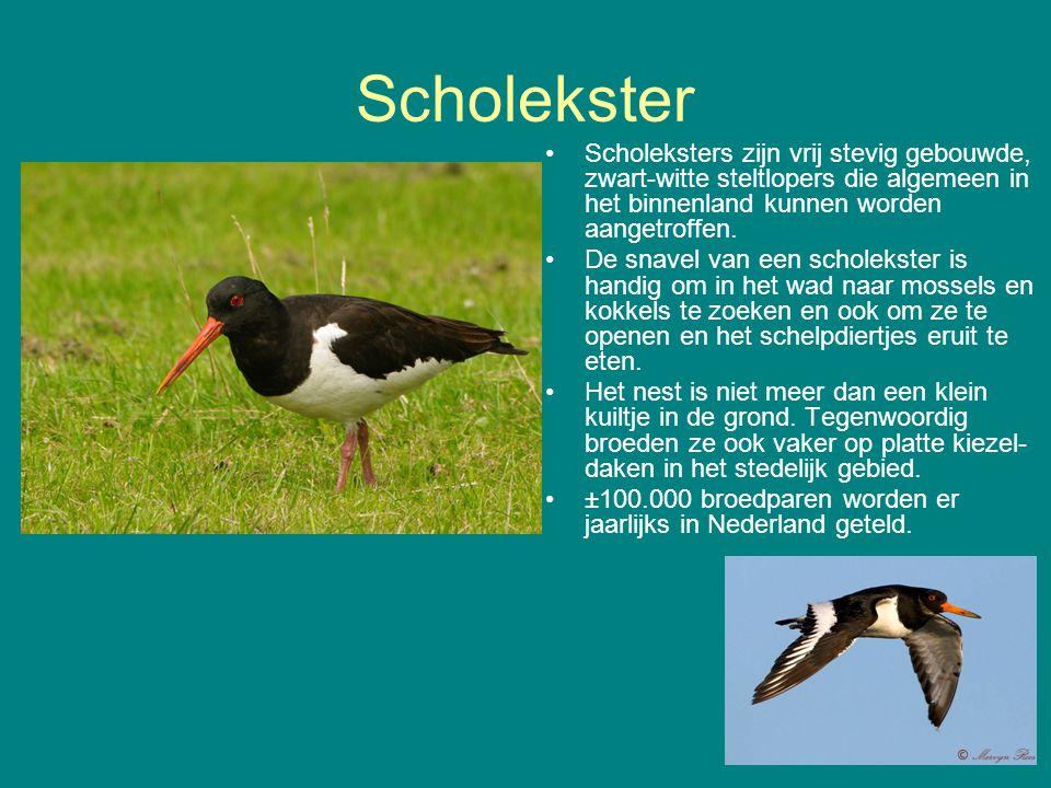 Scholekster Scholeksters zijn vrij stevig gebouwde, zwart-witte steltlopers die algemeen in het binnenland kunnen worden aangetroffen. De snavel van e