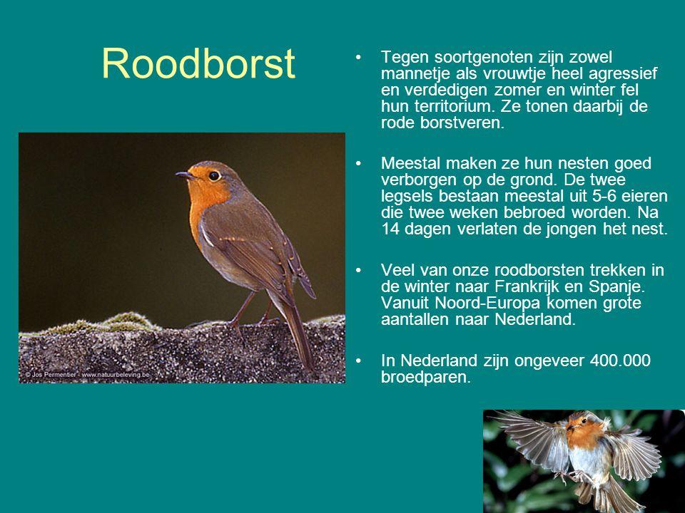 Roodborst Tegen soortgenoten zijn zowel mannetje als vrouwtje heel agressief en verdedigen zomer en winter fel hun territorium. Ze tonen daarbij de ro